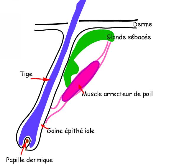 Follicule1