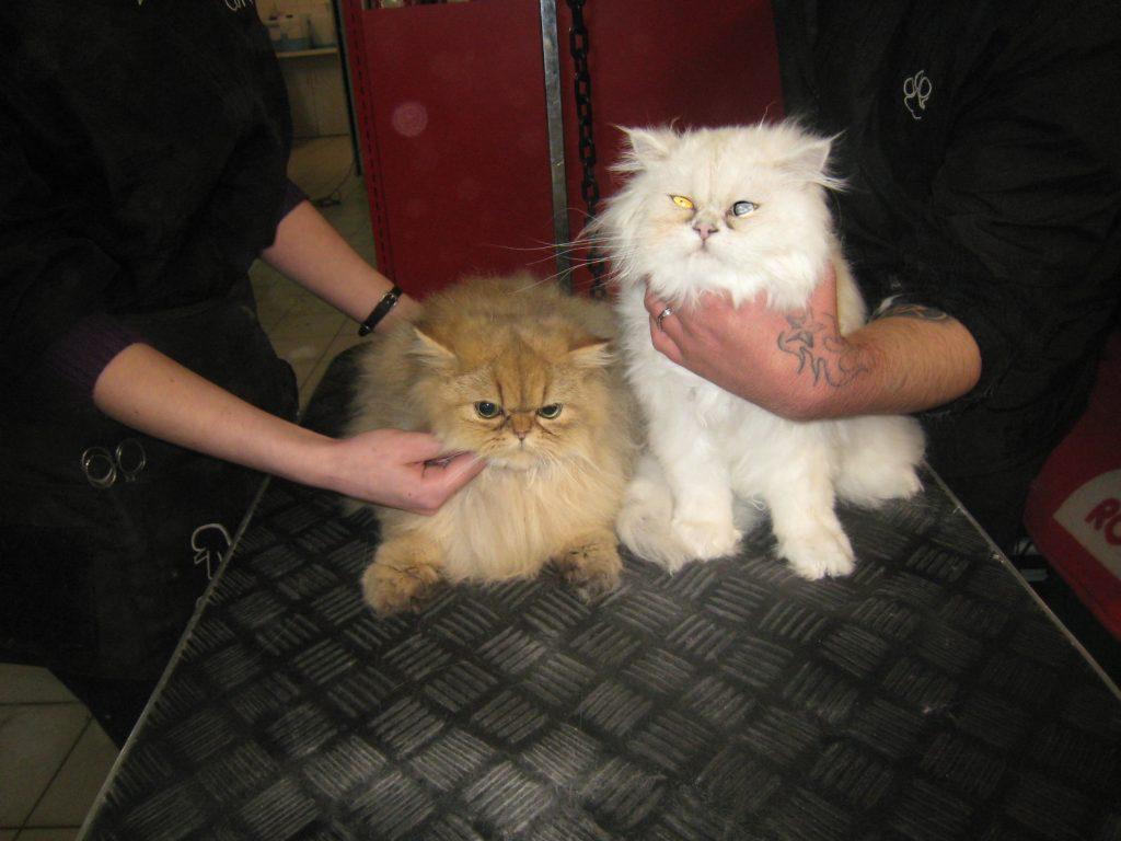 Toilettage chat : une coupe, même sur un chat à poil très long, cela n'aurait tout simplement aucun sens…