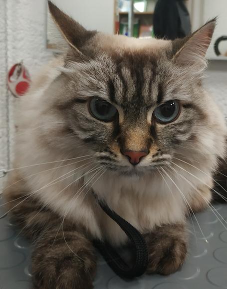 Toilettage chat : peut-on pratiquer un toilettage chat dans tous les cas?